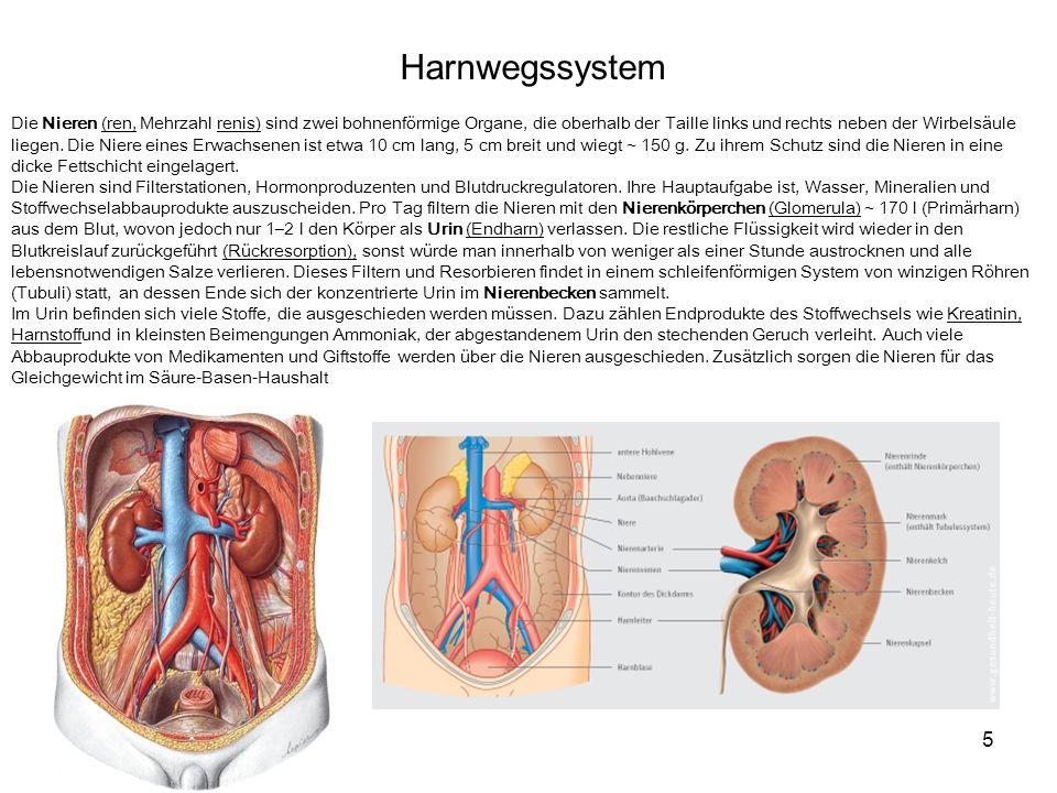 5 Harnwegssystem Die Nieren (ren, Mehrzahl renis) sind zwei bohnenförmige Organe, die oberhalb der Taille links und rechts neben der Wirbelsäule liegen.