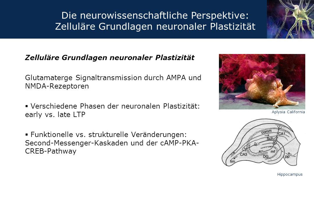Zelluläre Grundlagen neuronaler Plastizität Glutamaterge Signaltransmission durch AMPA und NMDA-Rezeptoren  Verschiedene Phasen der neuronalen Plasti