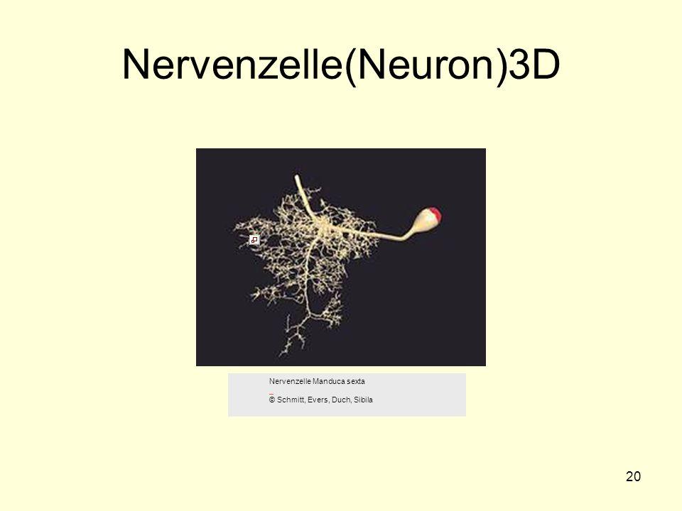 20 Nervenzelle(Neuron)3D Nervenzelle Manduca sexta © Schmitt, Evers, Duch, Sibila