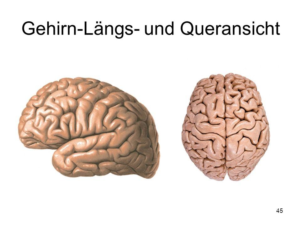 45 Gehirn-Längs- und Queransicht