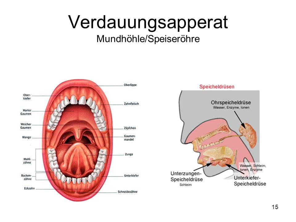 15 Verdauungsapperat Mundhöhle/Speiseröhre