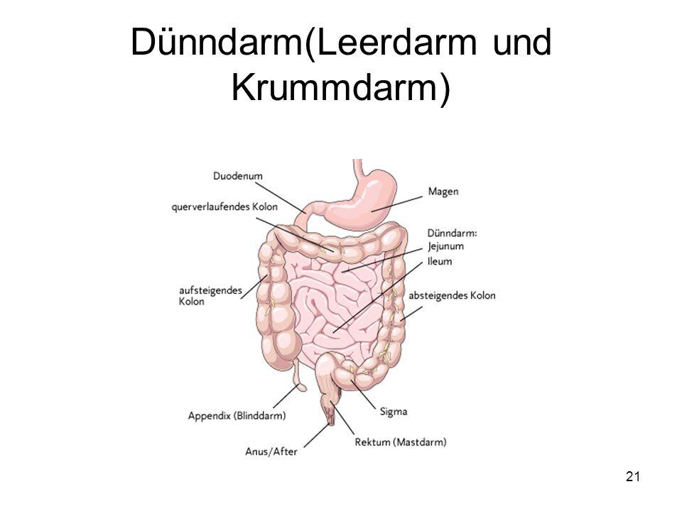 21 Dünndarm(Leerdarm und Krummdarm)