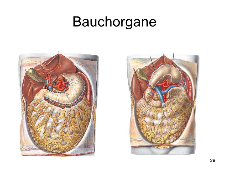 28 Bauchorgane