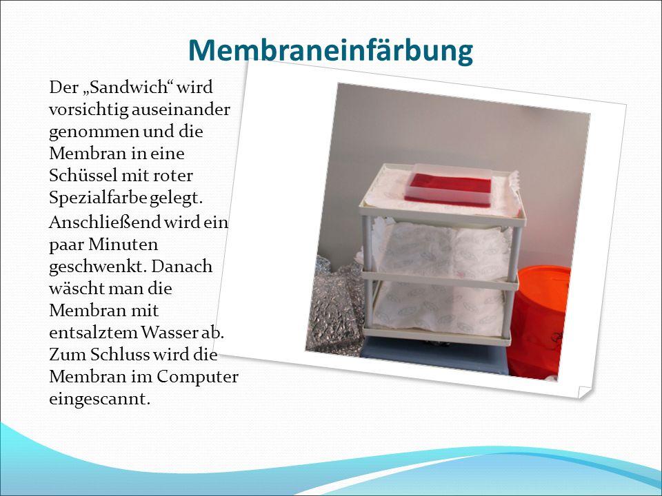 """Membraneinfärbung Der """"Sandwich"""" wird vorsichtig auseinander genommen und die Membran in eine Schüssel mit roter Spezialfarbe gelegt. Anschließend wir"""