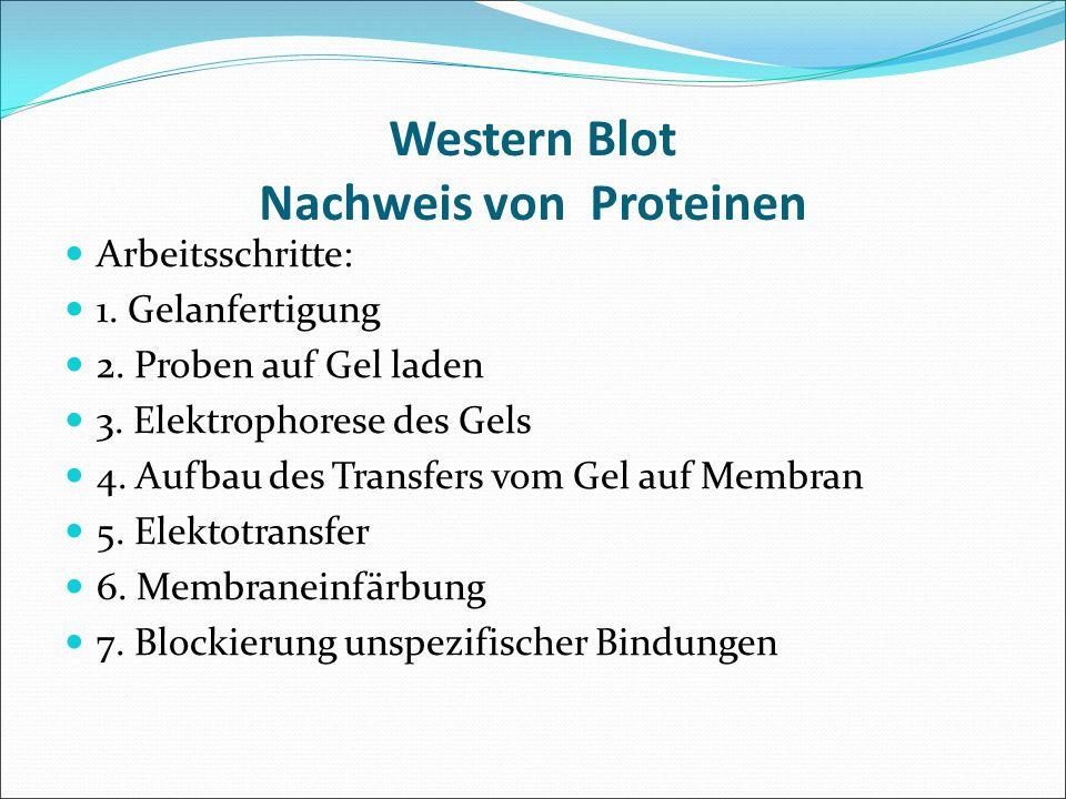 Western Blot Nachweis von Proteinen Arbeitsschritte: 1. Gelanfertigung 2. Proben auf Gel laden 3. Elektrophorese des Gels 4. Aufbau des Transfers vom