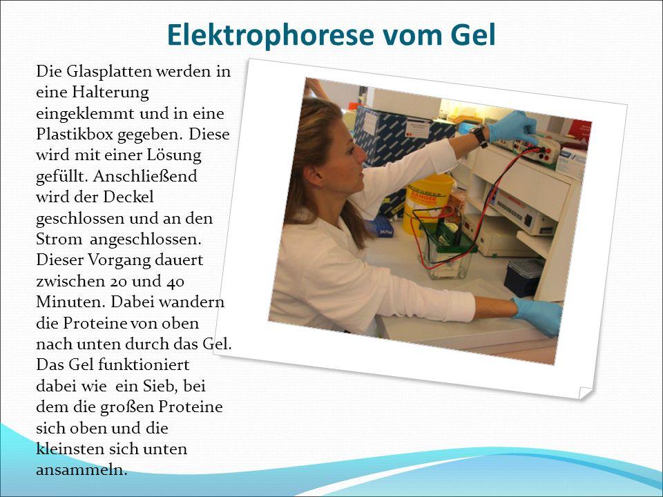 Elektrophorese vom Gel Die Glasplatten werden in eine Halterung eingeklemmt und in eine Plastikbox gegeben. Diese wird mit einer Lösung gefüllt. Ansch