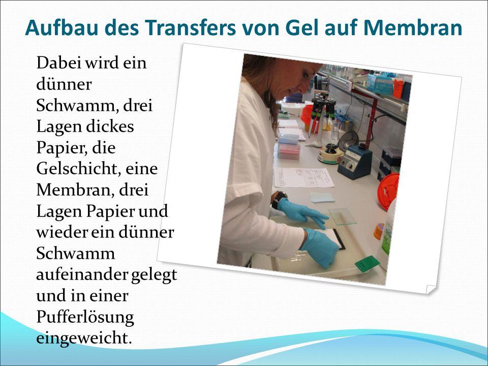 Aufbau des Transfers von Gel auf Membran Dabei wird ein dünner Schwamm, drei Lagen dickes Papier, die Gelschicht, eine Membran, drei Lagen Papier und