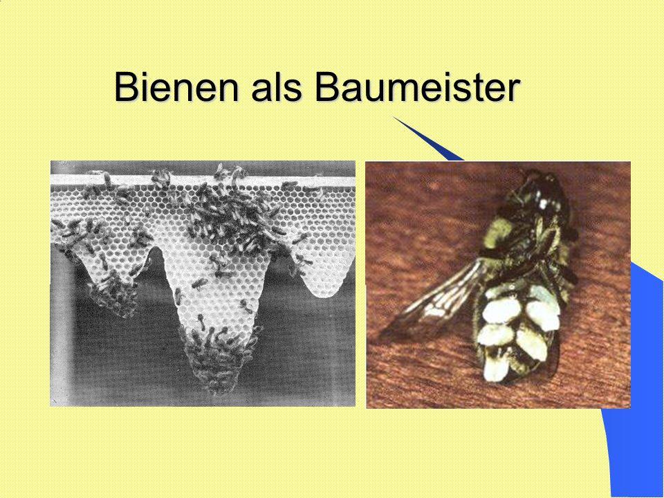 Bienen als Baumeister Bienen als Baumeister