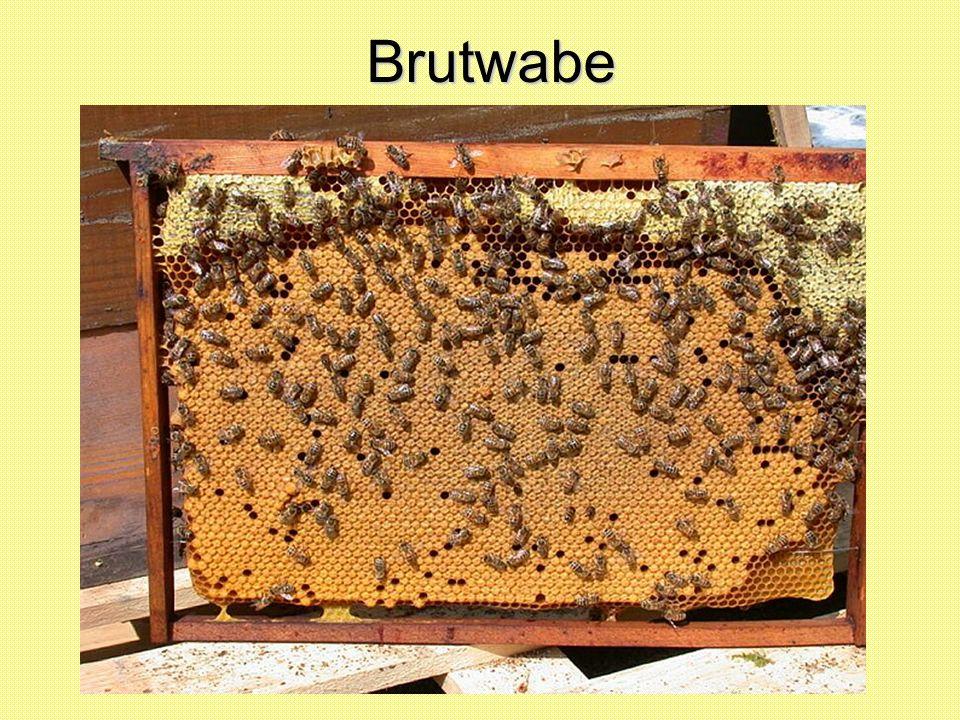 Brutwabe