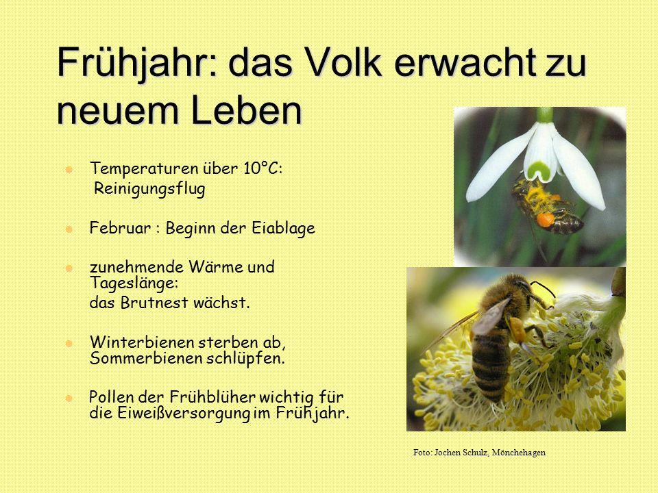 Frühjahr: das Volk erwacht zu neuem Leben Temperaturen über 10°C: Reinigungsflug Februar : Beginn der Eiablage zunehmende Wärme und Tageslänge: das Br