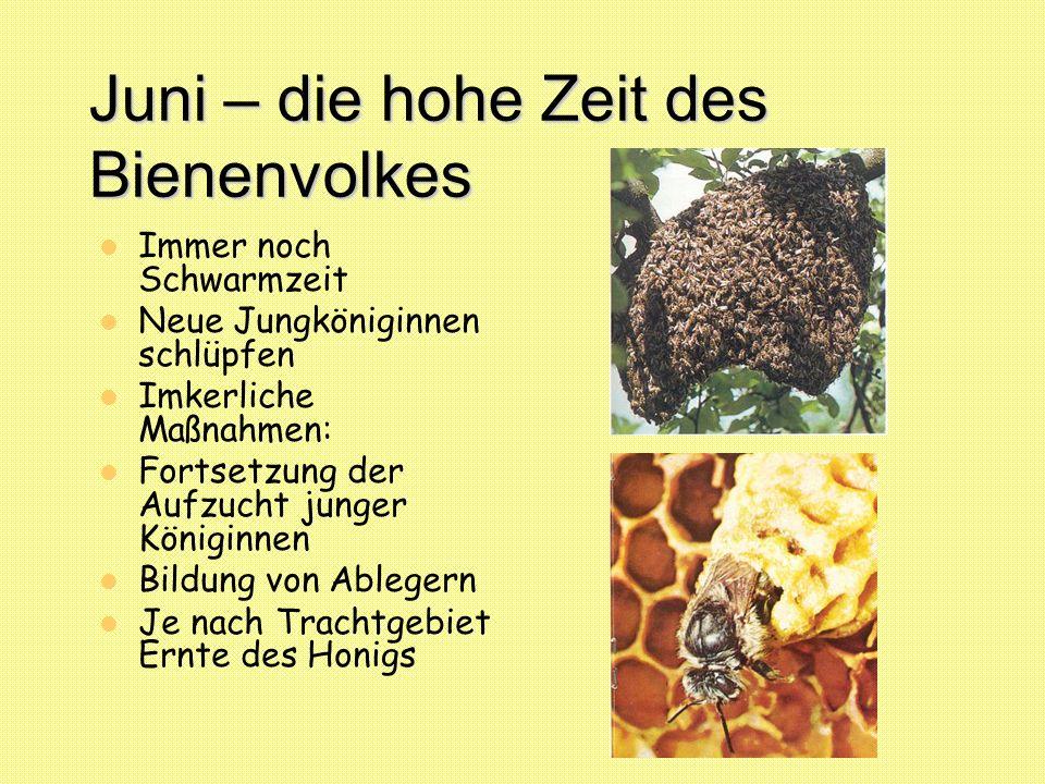 Juni – die hohe Zeit des Bienenvolkes Immer noch Schwarmzeit Neue Jungköniginnen schlüpfen Imkerliche Maßnahmen: Fortsetzung der Aufzucht junger König
