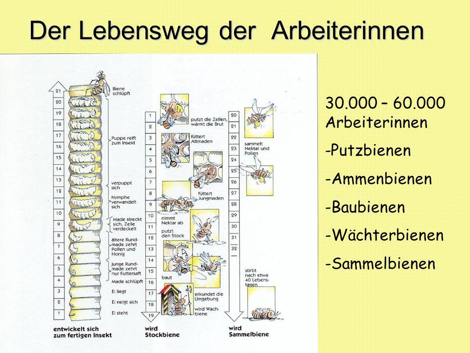Der Lebensweg der Arbeiterinnen 30.000 – 60.000 Arbeiterinnen -Putzbienen -Ammenbienen -Baubienen -Wächterbienen -Sammelbienen