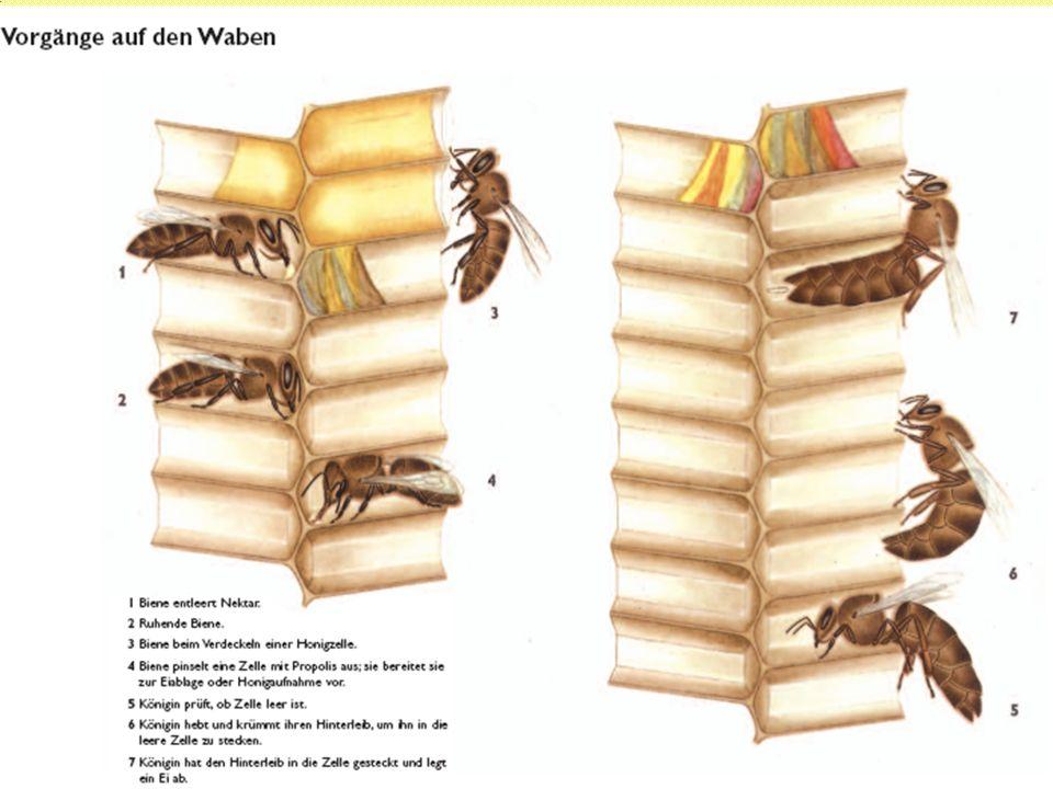 2. Wabenbau und Nestordnung