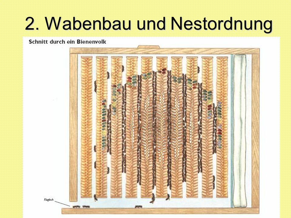 Winterzeit ist Ruhezeit (für die Bienen !) Winterruhe: Das Volk schrumpft auf 10.000 bis 15.000 Bienen zusammen.
