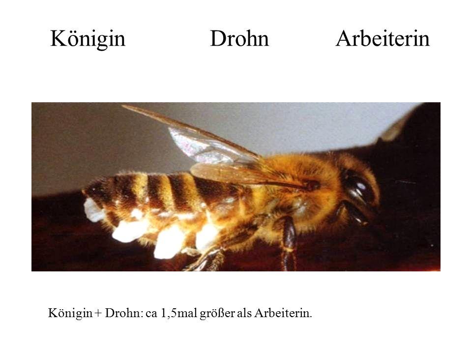 Königin Drohn Arbeiterin Königin + Drohn: ca 1,5mal größer als Arbeiterin.