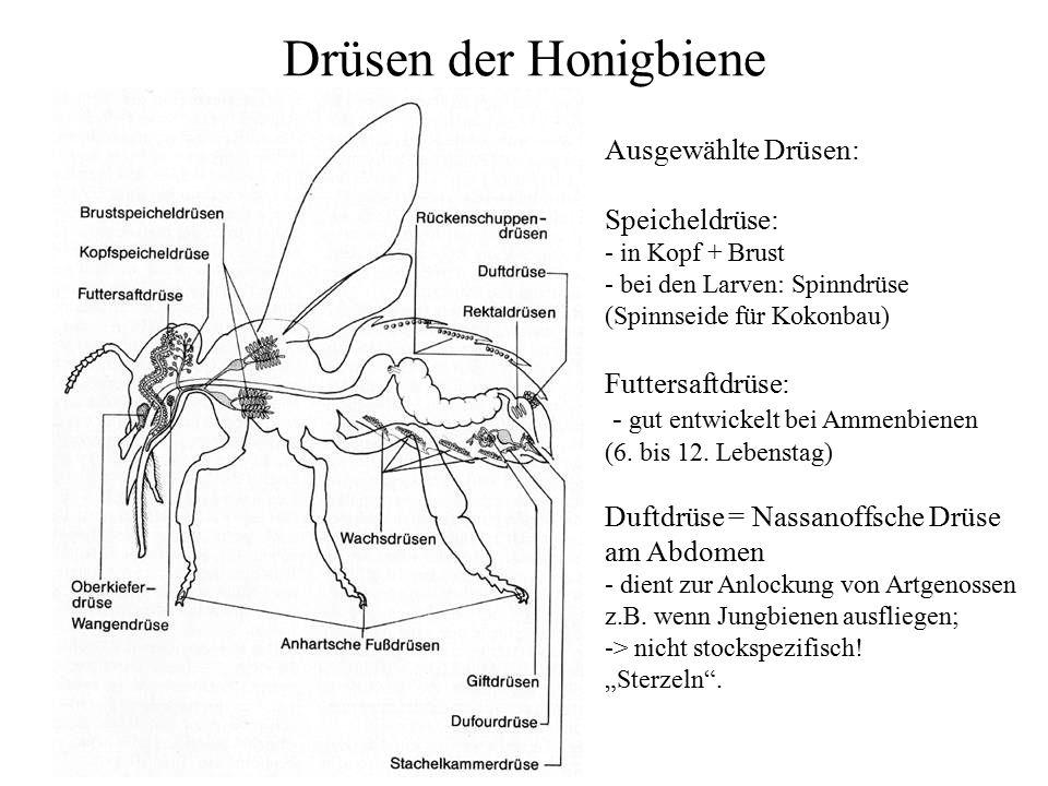 Drüsen der Honigbiene Ausgewählte Drüsen: Speicheldrüse: - in Kopf + Brust - bei den Larven: Spinndrüse (Spinnseide für Kokonbau) Futtersaftdrüse: - g