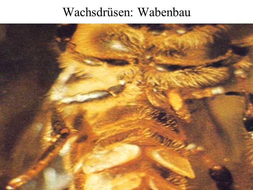 Wachsdrüsen: Wabenbau