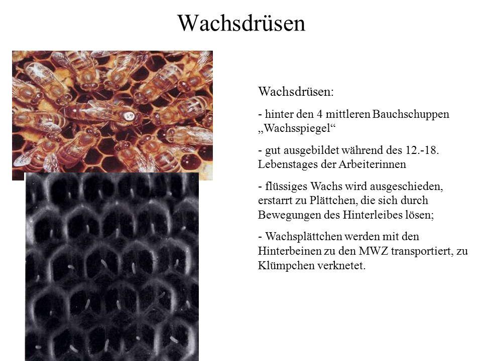 """Wachsdrüsen Wachsdrüsen: - hinter den 4 mittleren Bauchschuppen """"Wachsspiegel"""" - gut ausgebildet während des 12.-18. Lebenstages der Arbeiterinnen - f"""