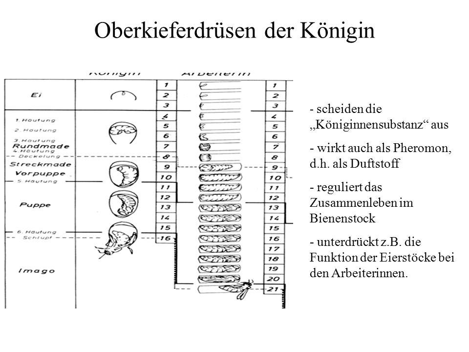 """Oberkieferdrüsen der Königin - scheiden die """"Königinnensubstanz aus - wirkt auch als Pheromon, d.h."""