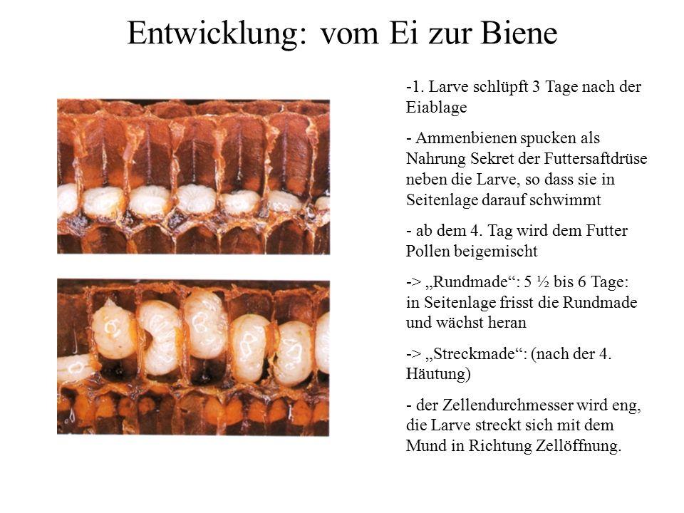 Entwicklung: vom Ei zur Biene -1. Larve schlüpft 3 Tage nach der Eiablage - Ammenbienen spucken als Nahrung Sekret der Futtersaftdrüse neben die Larve