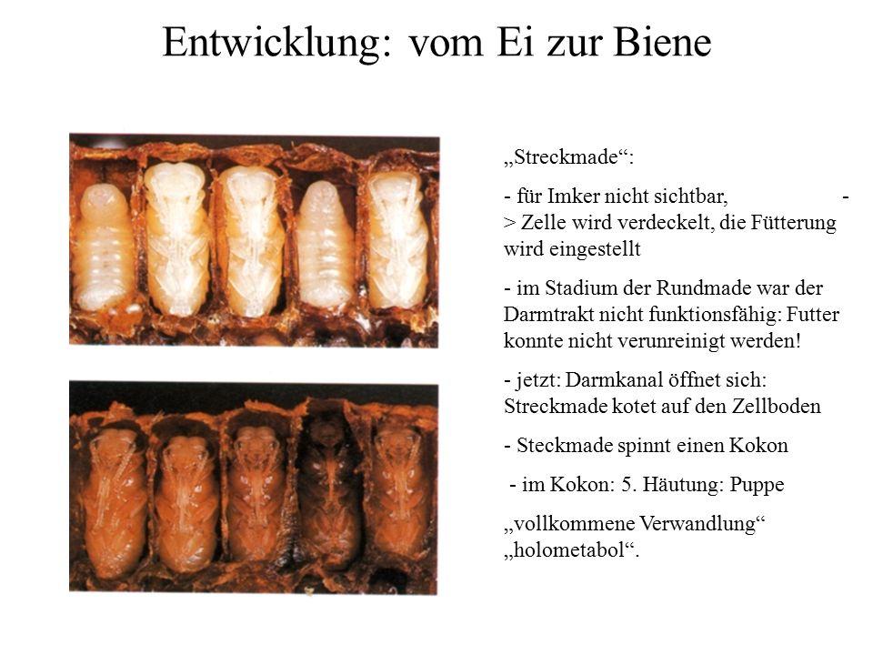 """Entwicklung: vom Ei zur Biene """"Streckmade : - für Imker nicht sichtbar, - > Zelle wird verdeckelt, die Fütterung wird eingestellt - im Stadium der Rundmade war der Darmtrakt nicht funktionsfähig: Futter konnte nicht verunreinigt werden."""