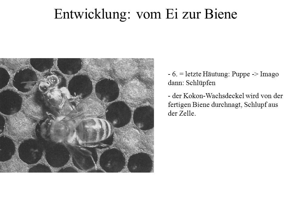 Entwicklung: vom Ei zur Biene - 6. = letzte Häutung: Puppe -> Imago dann: Schlüpfen - der Kokon-Wachsdeckel wird von der fertigen Biene durchnagt, Sch