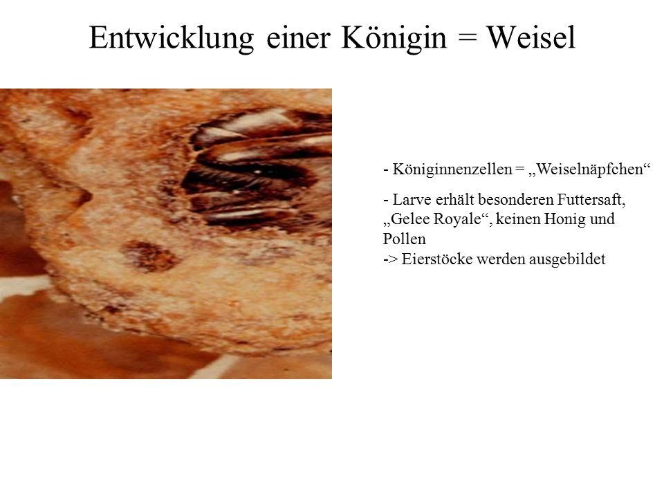 """Entwicklung einer Königin = Weisel - Königinnenzellen = """"Weiselnäpfchen"""" - Larve erhält besonderen Futtersaft, """"Gelee Royale"""", keinen Honig und Pollen"""