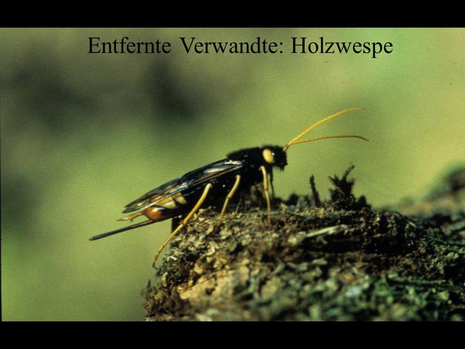 Hymenoptera: Siricidae Entfernte Verwandte: Holzwespe