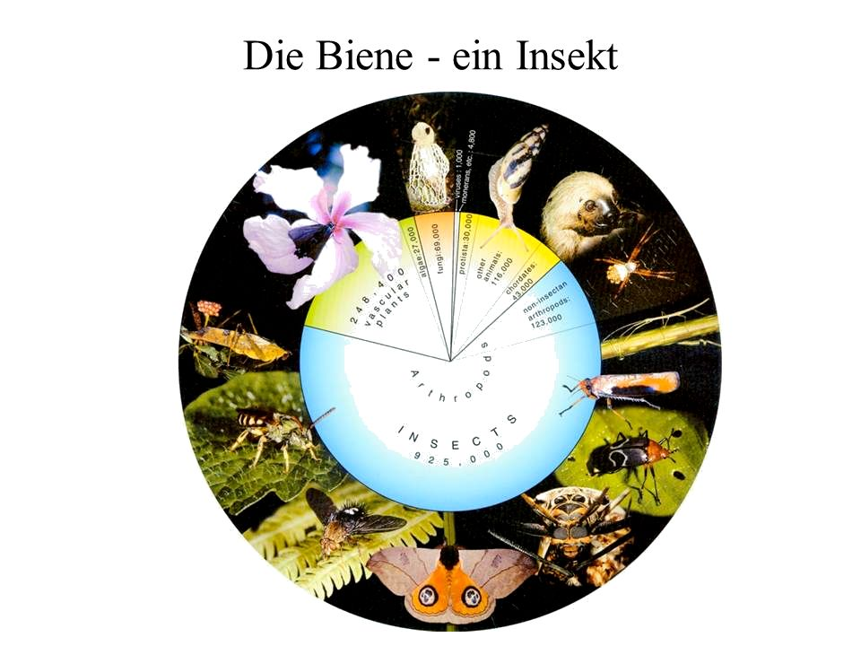 Drüsen der Honigbiene Ausgewählte Drüsen: Speicheldrüse: - in Kopf + Brust - bei den Larven: Spinndrüse (Spinnseide für Kokonbau) Futtersaftdrüse: - gut entwickelt bei Ammenbienen (6.