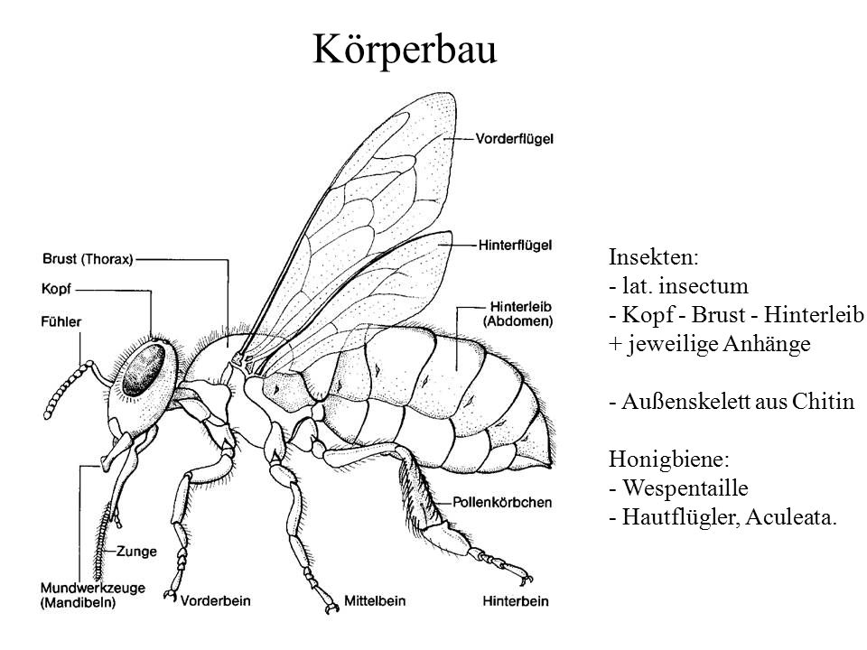 Körperbau Insekten: - lat. insectum - Kopf - Brust - Hinterleib + jeweilige Anhänge - Außenskelett aus Chitin Honigbiene: - Wespentaille - Hautflügler