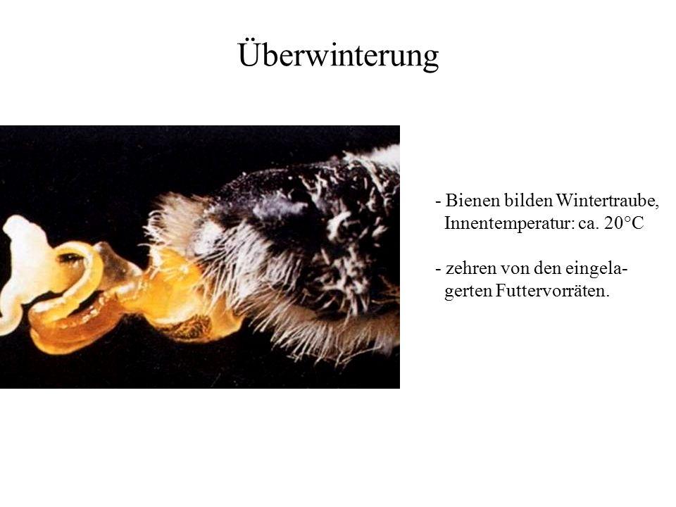 Überwinterung - Bienen bilden Wintertraube, Innentemperatur: ca. 20°C - zehren von den eingela- gerten Futtervorräten.