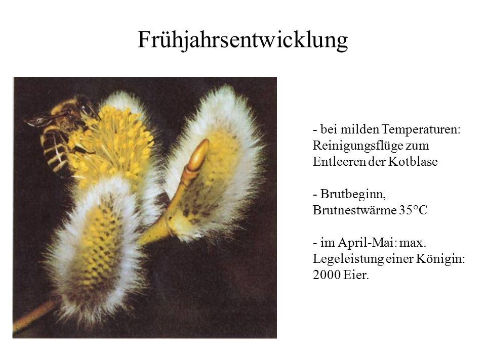 Frühjahrsentwicklung - bei milden Temperaturen: Reinigungsflüge zum Entleeren der Kotblase - Brutbeginn, Brutnestwärme 35°C - im April-Mai: max.