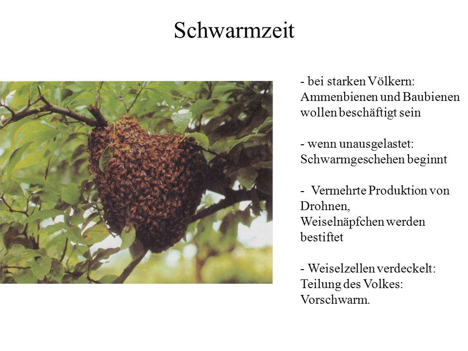 Schwarmzeit - bei starken Völkern: Ammenbienen und Baubienen wollen beschäftigt sein - wenn unausgelastet: Schwarmgeschehen beginnt - Vermehrte Produk