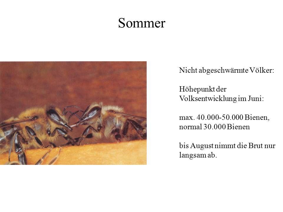 Sommer Nicht abgeschwärmte Völker: Höhepunkt der Volksentwicklung im Juni: max. 40.000-50.000 Bienen, normal 30.000 Bienen bis August nimmt die Brut n