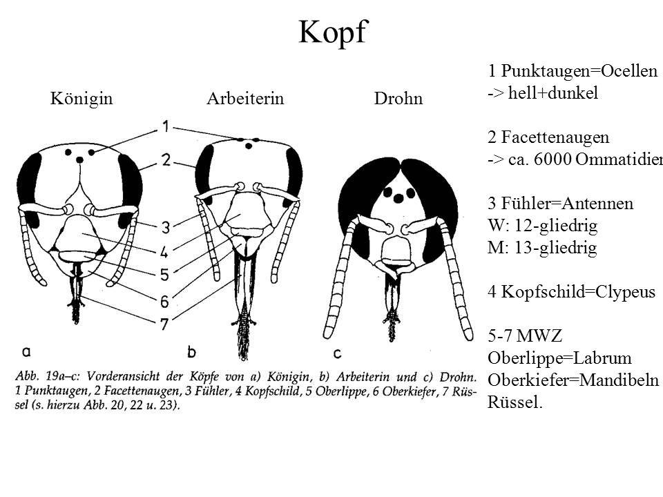 Kopf 1 Punktaugen=Ocellen -> hell+dunkel 2 Facettenaugen -> ca. 6000 Ommatidien 3 Fühler=Antennen W: 12-gliedrig M: 13-gliedrig 4 Kopfschild=Clypeus 5