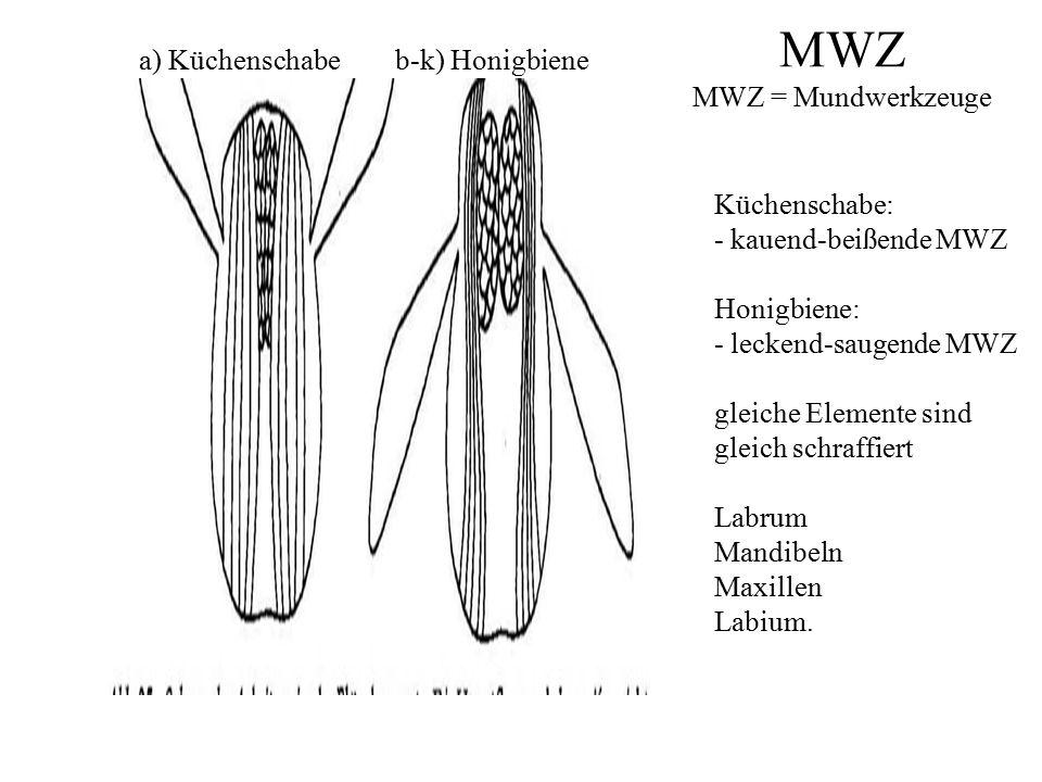 MWZ MWZ = Mundwerkzeuge a) Küchenschabe b-k) Honigbiene Küchenschabe: - kauend-beißende MWZ Honigbiene: - leckend-saugende MWZ gleiche Elemente sind gleich schraffiert Labrum Mandibeln Maxillen Labium.