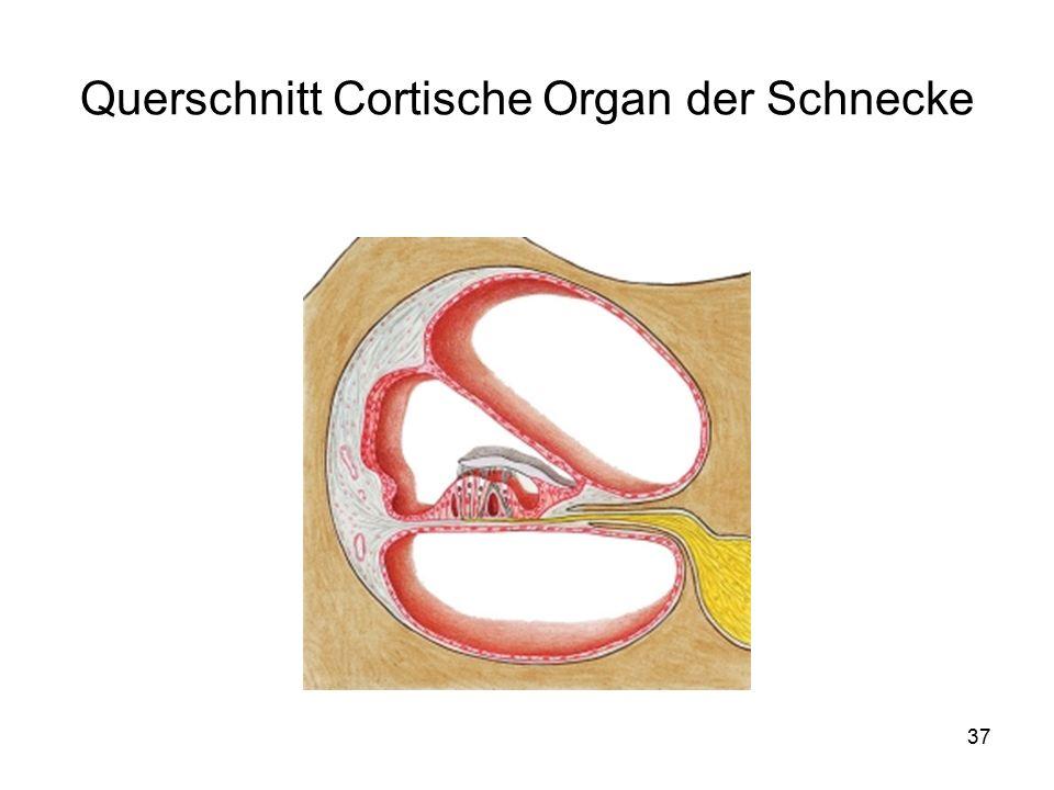 37 Querschnitt Cortische Organ der Schnecke
