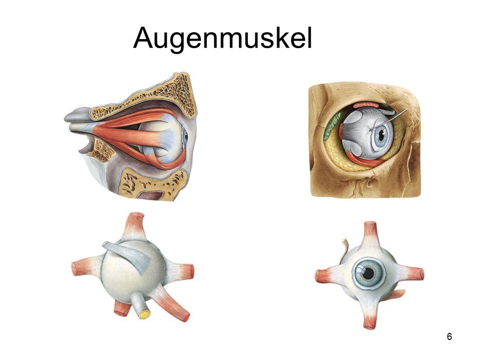 27 Mit dem Hörorgan - Aufnahme und Verarbeitung von Schallschwingungen-ist das Gleichgewichsorgan – Wahr- nehmung von Stellung des Körpers im Raum und Auslösen von Haltungs-und Stellreflexen eng verbunden.