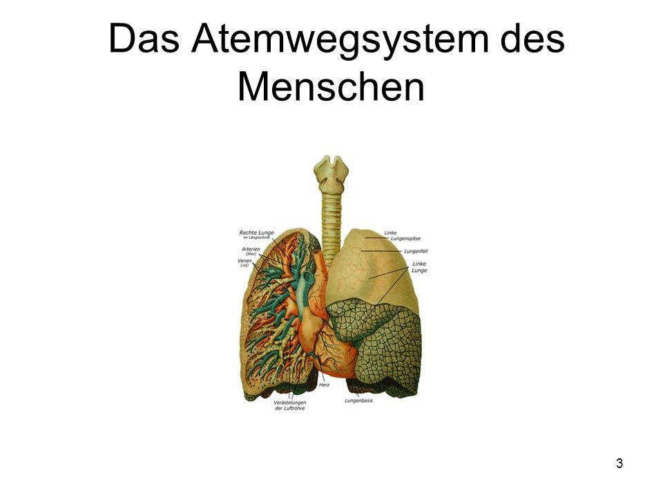 3 Das Atemwegsystem des Menschen