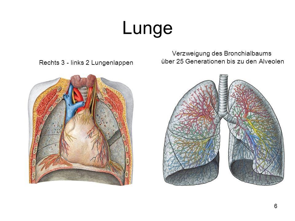 6 Lunge Verzweigung des Bronchialbaums über 25 Generationen bis zu den Alveolen Rechts 3 - links 2 Lungenlappen
