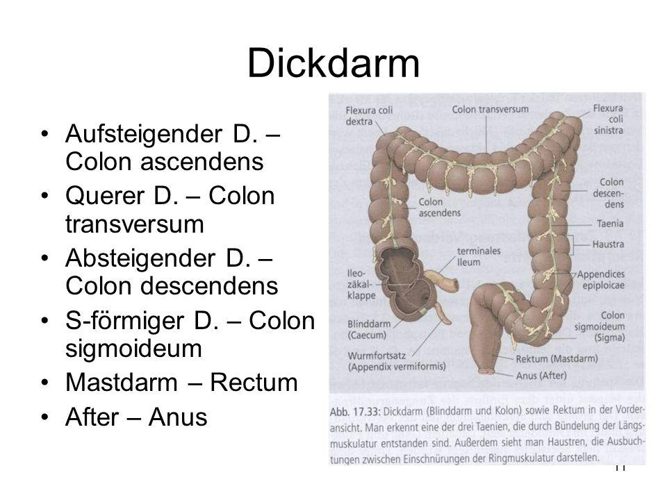 11 Dickdarm Aufsteigender D. – Colon ascendens Querer D. – Colon transversum Absteigender D. – Colon descendens S-förmiger D. – Colon sigmoideum Mastd
