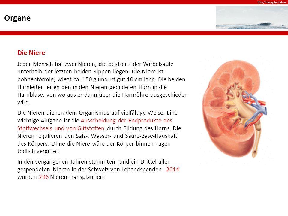 05a / Transplantation Organe Die Niere Jeder Mensch hat zwei Nieren, die beidseits der Wirbelsäule unterhalb der letzten beiden Rippen liegen.