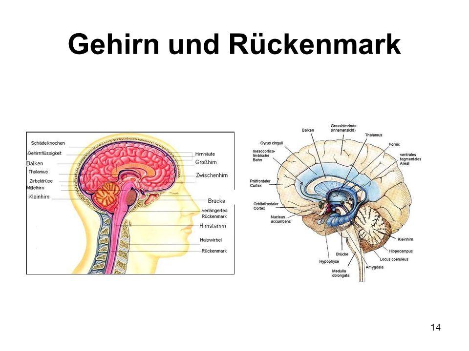 14 Gehirn und Rückenmark