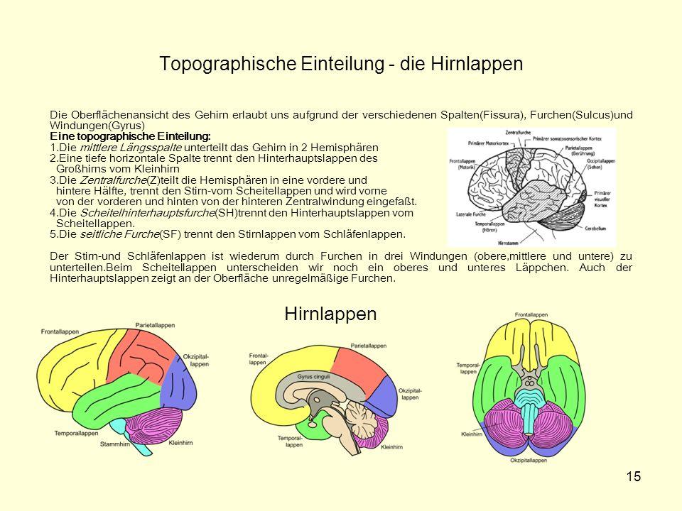 15 Topographische Einteilung - die Hirnlappen Die Oberflächenansicht des Gehirn erlaubt uns aufgrund der verschiedenen Spalten(Fissura), Furchen(Sulcu