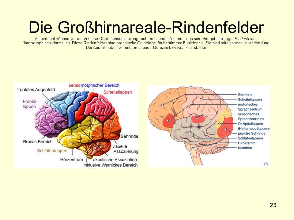 23 Die Großhirnareale-Rindenfelder Vereinfacht können wir durch diese Oberflächeneinteilung entsprechende Zentren - das sind Hirngebiete- sgn. Rindenf