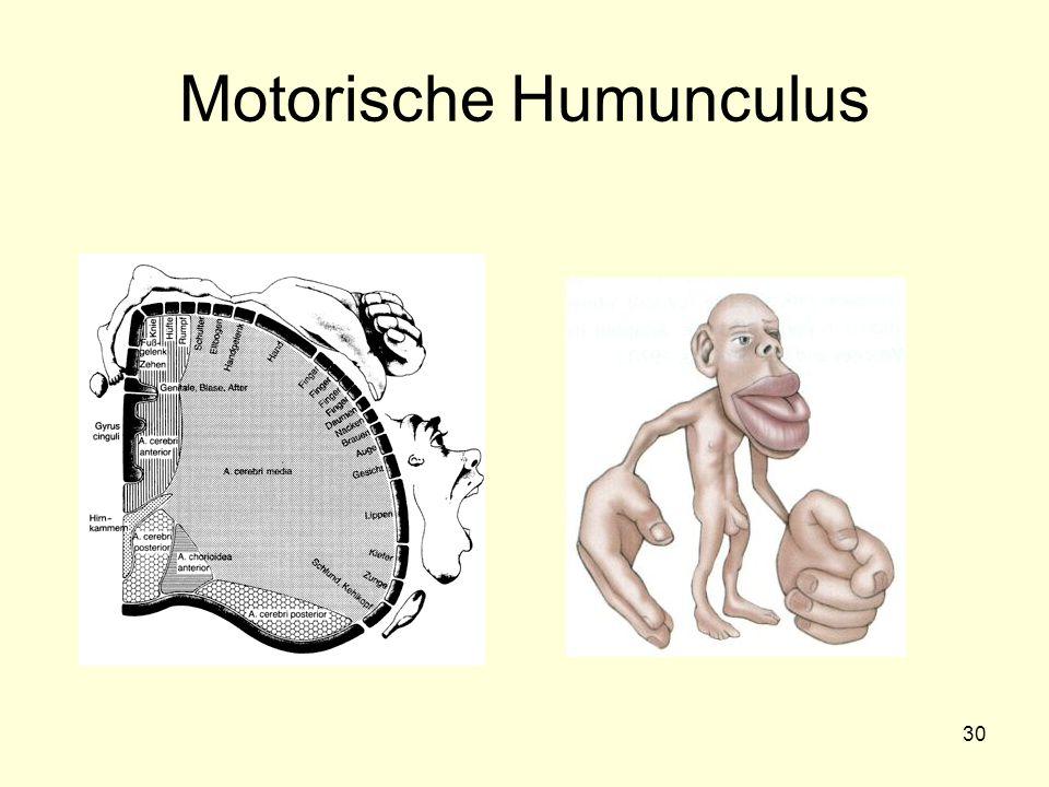 30 Motorische Humunculus