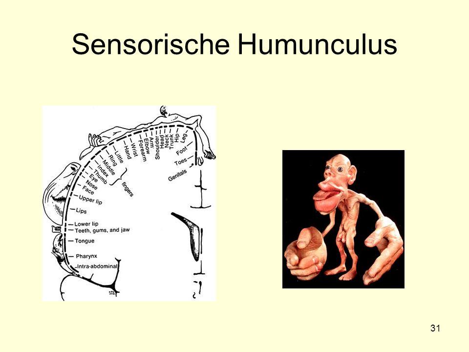 31 Sensorische Humunculus