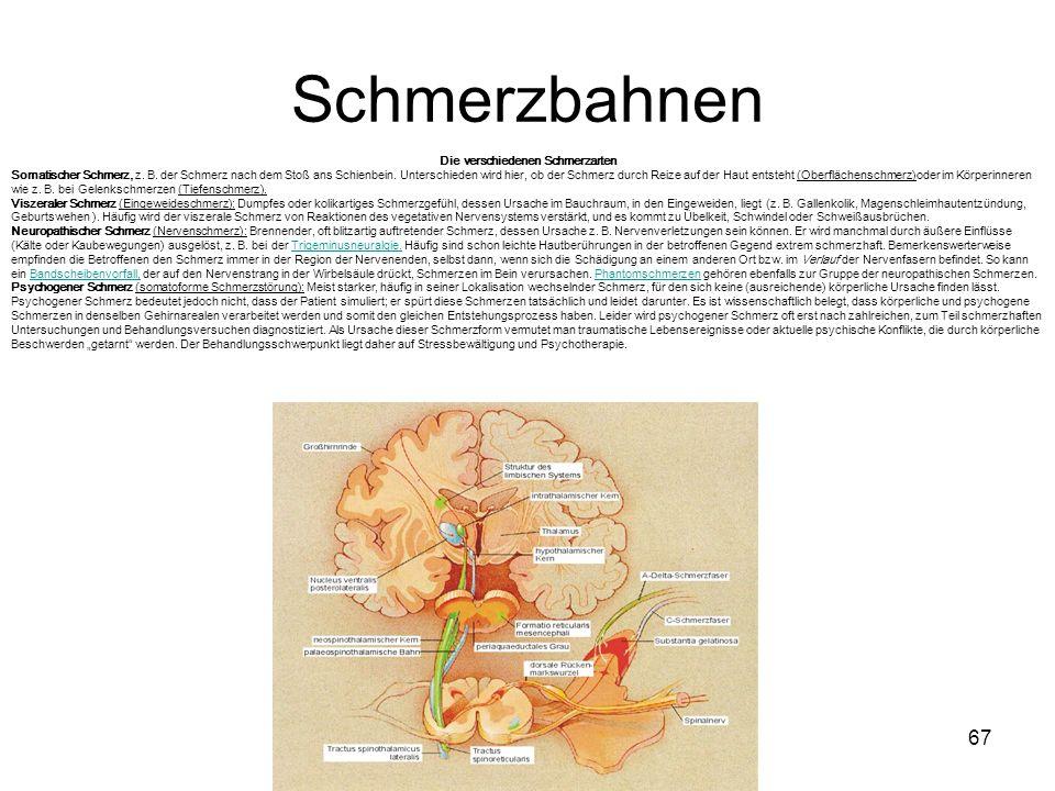 67 Schmerzbahnen Die verschiedenen Schmerzarten Somatischer Schmerz, z. B. der Schmerz nach dem Stoß ans Schienbein. Unterschieden wird hier, ob der S