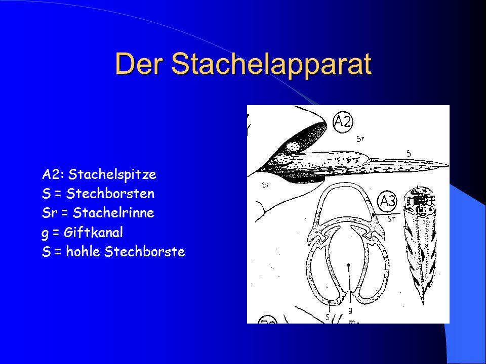 Der Stachelapparat A2: Stachelspitze S = Stechborsten Sr = Stachelrinne g = Giftkanal S = hohle Stechborste
