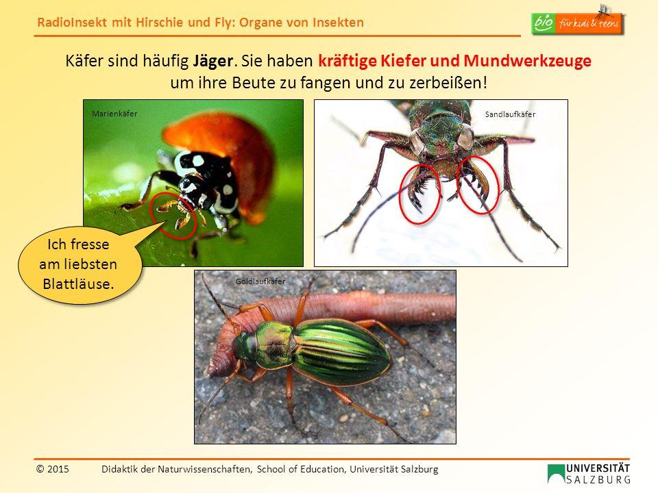 RadioInsekt mit Hirschie und Fly: Organe von Insekten © 2015Didaktik der Naturwissenschaften, School of Education, Universität Salzburg Käfer sind häu